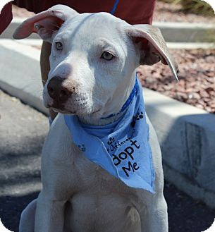American Pit Bull Terrier Mix Puppy for adoption in Las Vegas, Nevada - MILEY