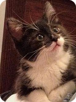 Domestic Mediumhair Kitten for adoption in Rosemount, Minnesota - Lilly @ Luna