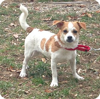 Chihuahua Mix Dog for adoption in Bloomfield, Connecticut - Beans