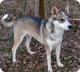 Husky/Shepherd (Unknown Type) Mix Dog for adoption in Conroe, Texas - Kaina