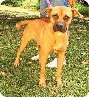 Black Mouth Cur/Labrador Retriever Mix Dog for adoption in Boca Raton, Florida - Spear