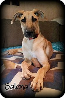 Great Dane/German Shepherd Dog Mix Dog for adoption in Walker, Louisiana - Salena
