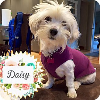 Coton de Tulear Mix Dog for adoption in Barriere, British Columbia - Daisy - ADOPTION PENDING