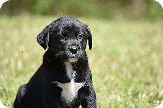 Border Collie/Labrador Retriever Mix Puppy for adoption in Groton, Massachusetts - Hope