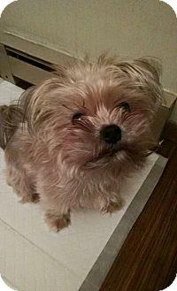 Shih Tzu/Yorkie, Yorkshire Terrier Mix Dog for adoption in St. Paul, Minnesota - Fletcher