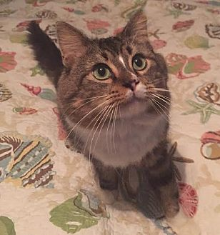 Domestic Mediumhair Cat for adoption in Port Charlotte, Florida - Mr. Belvedere
