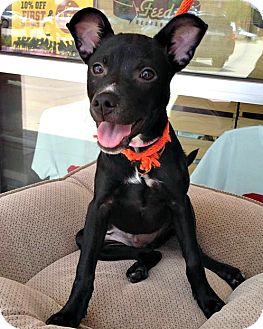 Terrier (Unknown Type, Small)/Chihuahua Mix Dog for adoption in McKinney, Texas - Maddox