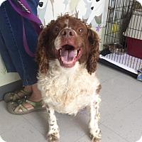 Adopt A Pet :: Hunter-URGENT - Providence, RI