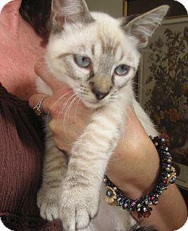 Siamese Kitten for adoption in Walnut Creek, California - Jack