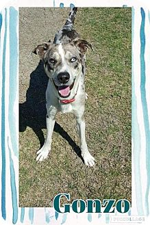Australian Cattle Dog Mix Dog for adoption in Tomah, Wisconsin - Gonzo