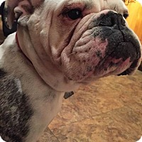 Adopt A Pet :: Livie - Park Ridge, IL