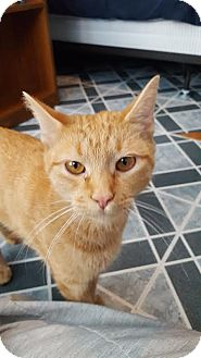 Domestic Shorthair Cat for adoption in Hazel Park, Michigan - Lily