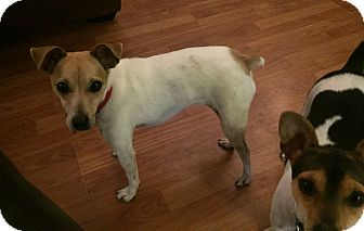 Jack Russell Terrier Mix Dog for adoption in Chattanooga, Tennessee - Annie Oakley