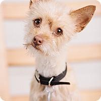 Adopt A Pet :: Beatrice - Portland, OR