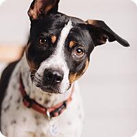 Adopt A Pet :: Lucky Boy - Portland, OR