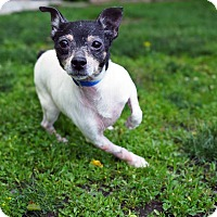 Chihuahua Mix Dog for adoption in Whitehall, Pennsylvania - Adele
