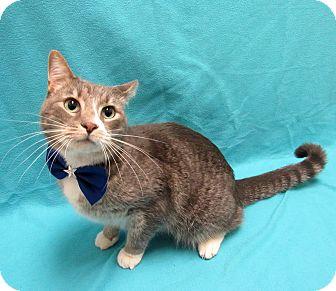 Domestic Shorthair Cat for adoption in Lexington, North Carolina - Neptune