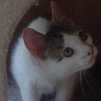 Adopt A Pet :: Brooke - Gilberts, IL