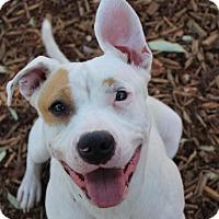 Adopt A Pet :: ADDIE - Red Bluff, CA