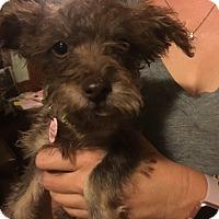 Adopt A Pet :: Riesling: adoption pending - Astoria, NY