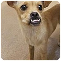 Chihuahua Mix Dog for adoption in Beverly Hills, California - Peanut