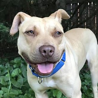 Pit Bull Terrier Mix Dog for adoption in Washington, D.C. - Gina