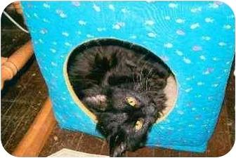 Domestic Longhair Cat for adoption in Fairmont, West Virginia - Trigger