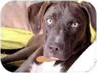 Labrador Retriever Mix Dog for adoption in Santa Fe, New Mexico - Shai
