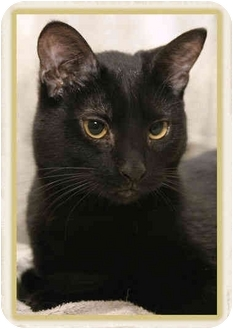 Domestic Shorthair Cat for adoption in Sterling Heights, Michigan - Faith - ADOPTED!