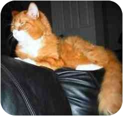 Domestic Longhair Cat for adoption in Gaithersburg, Maryland - Tiger