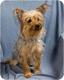 Yorkie, Yorkshire Terrier Dog for adoption in Anna, Illinois - SOPHIE