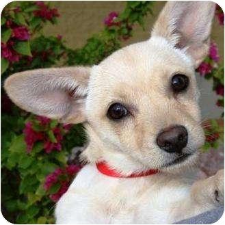 Dachshund/Chihuahua Mix Dog for adoption in Gilbert, Arizona - Zippy