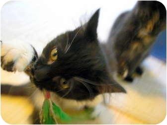 Domestic Mediumhair Kitten for adoption in Snohomish, Washington - NICO
