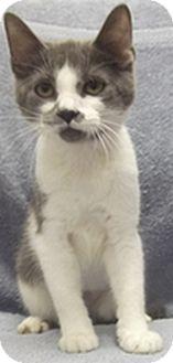 Domestic Shorthair Kitten for adoption in Wheaton, Illinois - Farrah
