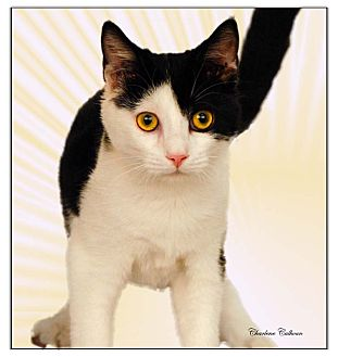 Domestic Shorthair Kitten for adoption in Newland, North Carolina - Samba