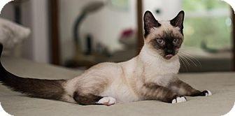 Snowshoe Kitten for adoption in St. Louis, Missouri - Brownie