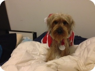 Yorkie, Yorkshire Terrier Puppy for adoption in Long Beach, New York - Andy