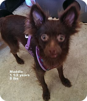 Chihuahua Mix Dog for adoption in San Diego, California - Maddie