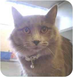 Domestic Longhair Cat for adoption in Walker, Michigan - Smokey Baby