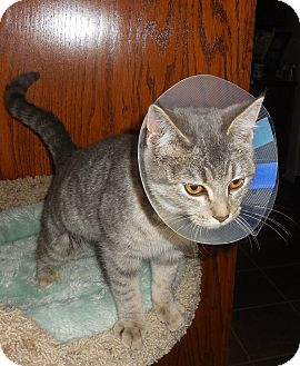 Domestic Shorthair Cat for adoption in Rochester, Minnesota - Kandy