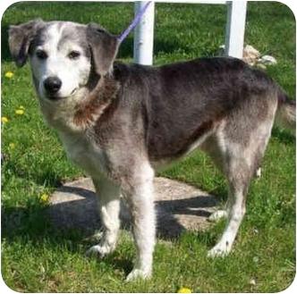 Siberian Husky/German Shepherd Dog Mix Dog for adoption in Various Locations, Indiana - Pops