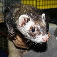Ferret for adoption in Pinesville, Oregon - Donovan