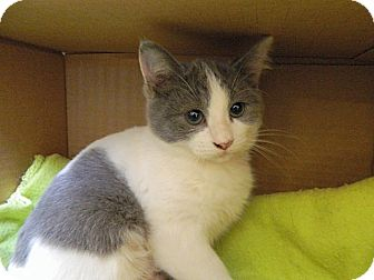 Domestic Shorthair Kitten for adoption in The Colony, Texas - Sweet Pea