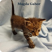 Adopt A Pet :: Magnum - Bentonville, AR