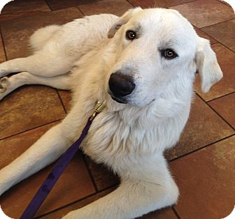 Great Pyrenees/Akbash Mix Dog for adoption in Kyle, Texas - French