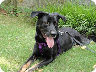 German Shepherd Dog/Labrador Retriever Mix Dog for adoption in Decatur, Georgia - Roscoe