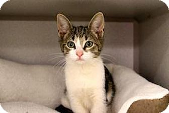 Domestic Shorthair Kitten for adoption in Atlanta, Georgia - Appalonia