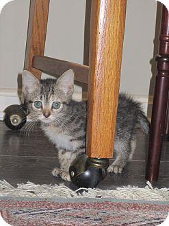 Domestic Shorthair Kitten for adoption in Port Republic, Maryland - Iris