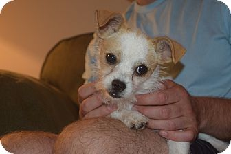 Shih Tzu/Chihuahua Mix Dog for adoption in CHAMPAIGN, Illinois - TOOTSIE