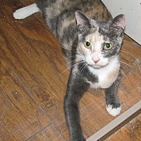 Domestic Shorthair Cat for adoption in Tampa, Florida - Sahara
